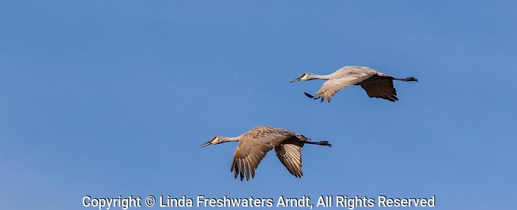 Sandhill cranes flying over Crex Meadows in northwest Wisconsin.