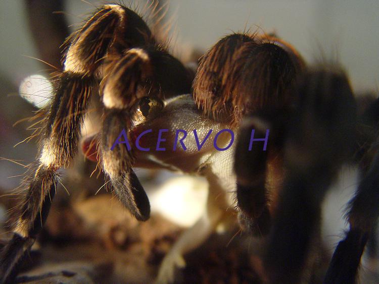 Aranha Caranguejeira<br /> <br /> Caranguejeira se alimenta da lagartixa-dom&eacute;stica-tropical (Hemidactylus mabouia).<br /> <br /> A aranha caranguejeira (Mygalomorphae) possui variado colorido e tamanho, desde mil&iacute;metros at&eacute; 20cm de envergadura de pernas. Algumas s&atilde;o muito pilosas. Os acidentes s&atilde;o destitu&iacute;dos de import&acirc;ncia m&eacute;dica, sendo conhecida a irrita&ccedil;&atilde;o ocasionada na pele e mucosas devido aos p&ecirc;los urticantes, que algumas esp&eacute;cies liberam como forma de defesa. Os p&ecirc;los urticantes podem estar concentrados na regi&atilde;o posterior do abdome, de 10.000 a 20.000 p&ecirc;los por mm. <br /> Piracicaba, S&atilde;o Paulo, Brasil.<br /> Foto Warwick Manfrinato<br /> 28/02/2005