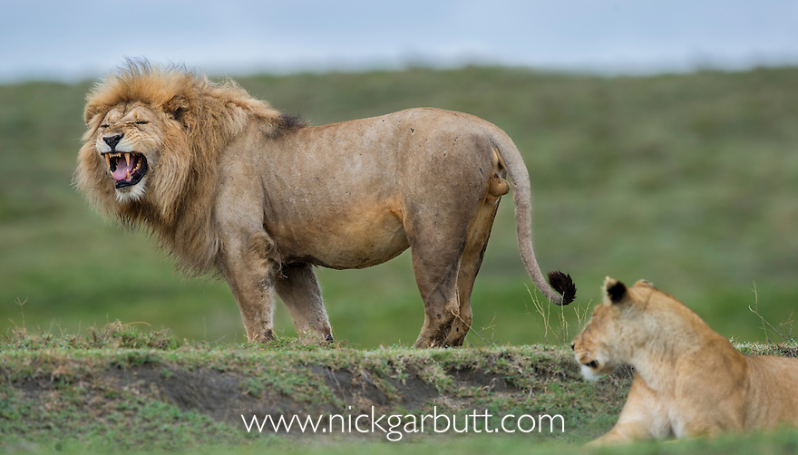 Male African Lion (Panthera leo) - sniffing / testing female receptivity - Flemen response. Near Ndutu, Nogorongoro Conservation Area / Serengeti National Park, Tanzania. March 2015