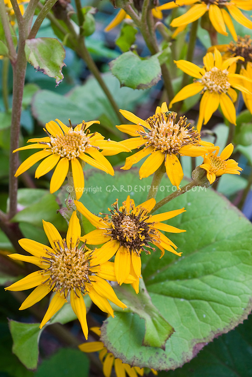 Golden Ray plant Ligularia dentata 'Othello'
