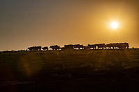Cattle at sunset in the Flint Hills of Kansas.
