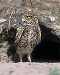 Burrowing Owl (Athene cunicularia) at burrow, Cape Coral, Florida, USA.