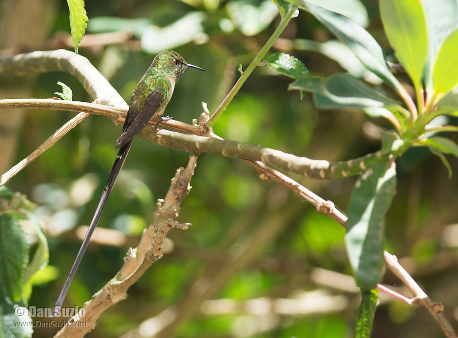 Male black-tailed trainbearer hummingbird, Lesbia victoriae, perched on a branch near Nono, Ecuador