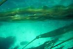 Bull Kelp streaming in tidal current, Nereocystis luetkeana, marine plants, Pacific Ocean, underwater view, Northwest coast of North America,