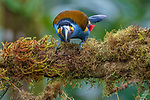 Ecuador, Andean cloud forest, plate-billed mountain toucan (Andigena laminirostris)