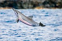baby spinner dolphin, Stenella longirostris, leaping, Kailua Kona, Big Island, Hawaii, Pacific Ocean