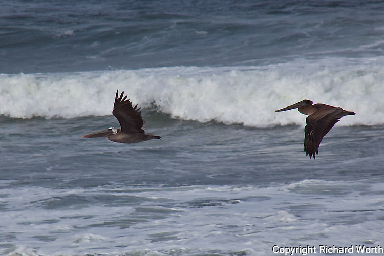 Brown Pelicans off the California coast, zooming with the waves.