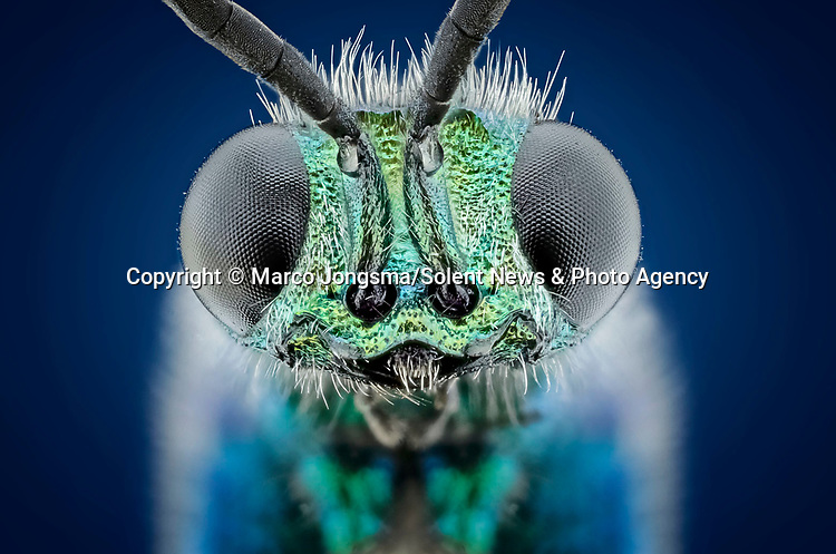 Pictured:  Cuckoo wasp.<br /> <br /> A series of mesmerising close-up images of insects make them look like aliens.  Photographer Marco Jongsma captured the macro shots of a range of bugs including a cuckoo wasp and a crab spider.<br /> <br /> The pictures detail the intricate features and patterns of the insects - from the bulging yellow eyes of a tiger beetle to the delicate hairs on a honey bee.  The 34-year-old used a macro lens and a microscope to picture the insects in a laboratory at his home in Lemmer, the Netherlands.  SEE OUR COPY FOR DETAILS.<br /> <br /> Please byline: Marco Jongsma/Solent News<br /> <br /> © Marco Jongsma/Solent News & Photo Agency<br /> UK +44 (0) 2380 458800