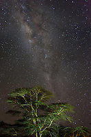 The Milky Way with acacia tree, Soysambu Ranch, Kenya.  The night sky was incredibly clear over the Great Rift Valley of Kenya.