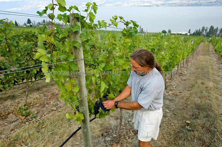 9/4/2006--Kelowna, British Columbia, Canada..Tom diBello, winemaker at the Cedar Creek Estate Winery (5445 Lakeshore Road, inspects some pinot grapes on the estate overlooking Lake Okanagan...Photograph By Stuart Isett.All photographs ©2006 Stuart Isett.All rights reserved.