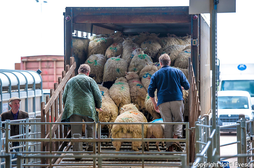 Loading sheep in to a livestock lorry at Sedgemoor auction market, Somerset.