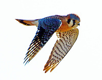 Adult male American kestrel