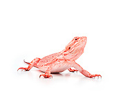 Red Bearded Dragon, Pogona vitticeps