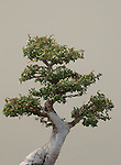 Bonsai beech tree