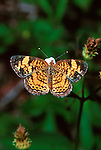 Pearly Crescent Spot
