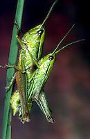Kleine Goldschrecke, Paarung, Kopula, Kopulation, Euthystira brachyptera, Chrysochraon brachyptera, Small Gold Grasshopper, pairing, copulation