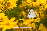 "03126-00501 Gray Copper butterfly (Lycaena dione) on Thread-leaf Coreopsis ""Golden Showers"" (Coreposis verticillata)  Marion Co. IL"