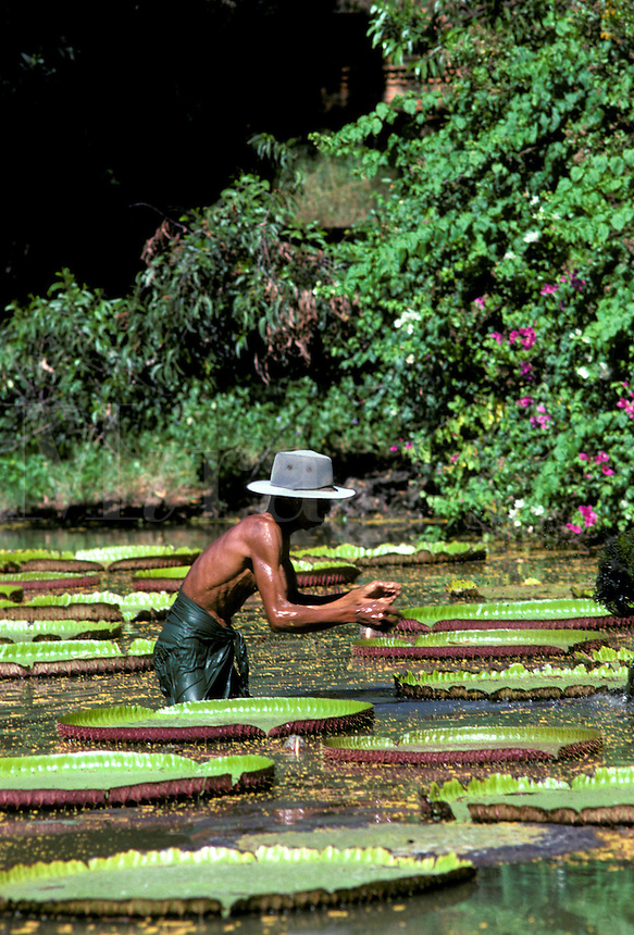Man in pond with giant lily pads