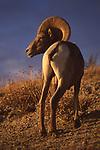 Desert bighorn sheep in Rancho Mirage