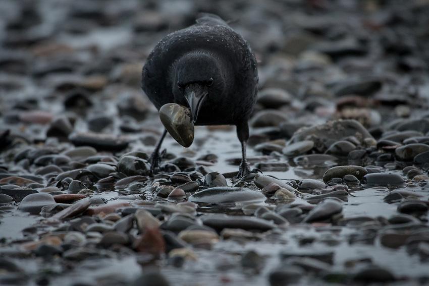 Northwestern Crow foraging at low tide. Homer, Alaska. Photo by James R. Evans.