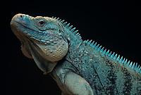 Cayman island blue iguana or blue head iguana, family: Iguanidae, Cyclura lewisi c, Caribbean Sea, Atlantic Ocean