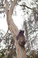 A koala climbs a eucalypt tree at Belair National Park, near Adelaide, South Australia.
