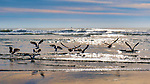 Gulls feeding, Kalaloch Beach in Olympic National Park, Washington.  Beaches in the Kalaloch area of Olympic National Park, identified by trail numbers, are remote and wild.  Olympic Peninsula, Olympic Mountains, Olympic National Park, Washington State, USA.