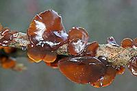 Weiden-Drüsling, Weidendrüsling, Kreisel-Drüsling, Kreiseldrüsling, Weide-Drüsling, Weidedrüsling, Exidia recisa, willow brain, amber jelly roll, Amber Jelly