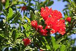 Israel, Sharon, Pomegranate tree (Punica granatum) flowers