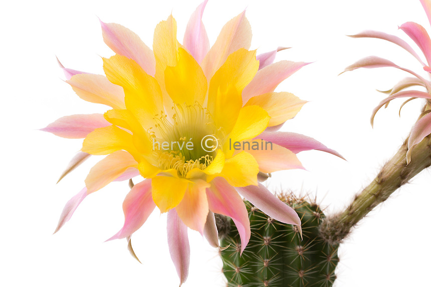 Echinopsis 'Embraceable You' (hybride de Schick) // Echinopsis 'Embraceable You'' (hybrid from Schick)