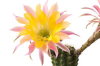 Echinopsis 'Embraceable You' (hybride de Schick) // Echinopsis 'Embraceable You'' (hybrid from Schick)