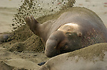 Elephant Seal Male covering himself with sand, Northern Elephant Seal, Piedras Blancas Rookery, San Simeon, California