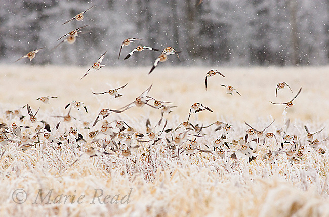 Snow Buntings (Plectrophenax nivalis) flock in flight, landing in an ice-covered field in winter, New York, USA