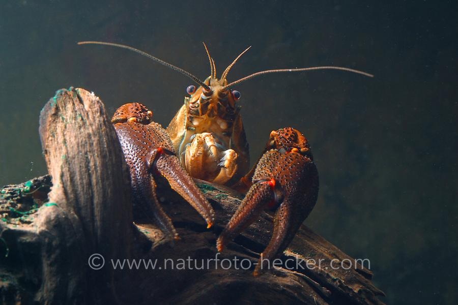 Europäischer Flusskrebs, Flußkrebs, Edelkrebs, Astacus astacus, syn. A. fluviatilis, European crayfish, Noble crayfish, Broad-fingered crayfish