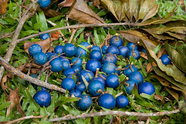 Blue Quandong (Elaeocarpus angustifolius) fruits, a favorite food of the Southern Cassowary and of the Australian bushtucker industry, Julatten, Queensland, Australia