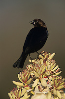 Brown-headed Cowbird, Molothrus ater,male on blooming Trecul Yucca (Yucca treculeana), Lake Corpus Christi, Texas, USA