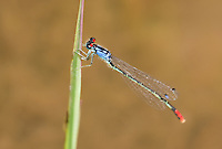 337850010 a wild adult male painted damsel hesperagrion heterodoxum perches on a water plant leaf on the membis river near royal john mine road grant county new mexico united states..GPS:N 32.73066.         W -107.86653