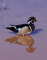 DRAKE WOOD DUCK WADING THE SHALLOWS