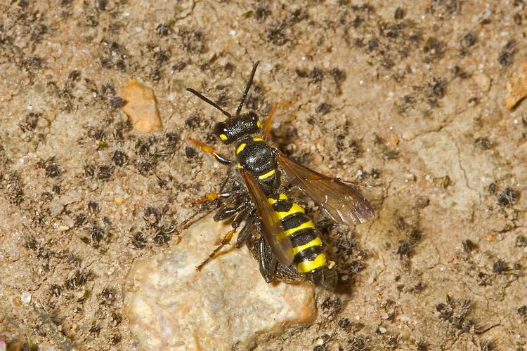 Weevil Wasp - Cerceris arenaria