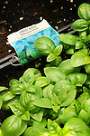Walnut Run Farm. Sweet Basil ready for transplanting.
