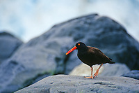 Black oystercatcher walks on a boulder along the shore of Prince William Sound, Alaska.