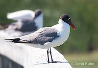 0907-0901  Laughing Gull, Larus atricilla (syn. Leucophaeus atricilla) © David Kuhn/Dwight Kuhn Photography