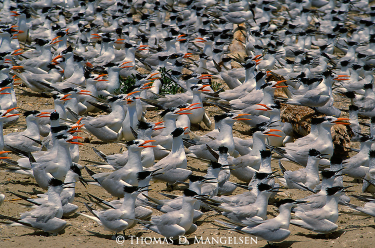 Royal and sandwich terns nest on Chandaluer Islands in Louisiana.