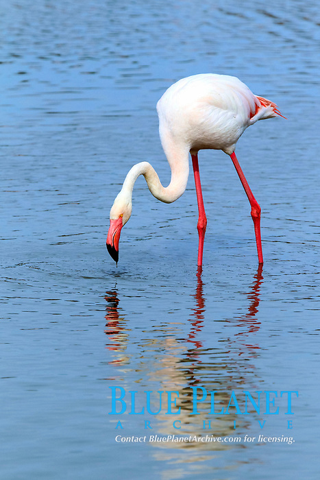 Greater Flamingo (Phoenicopterus ruber roseus), foraging in water, Saintes-Maries-de-la-Mer, Camargue, France, Europe