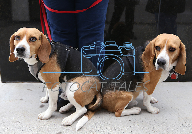 Rescue beagles Dean and Luke wait outside the Legislative Building in Carson City, Nev., on Tuesday, March 24, 2015. Sen. Mark Manendo introduced a bill Tuesday that would require labratories that conduct research on dogs and cats to put the animals up for adoption after the study work.  <br /> Photo by Cathleen Allison