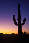 Sunset and Saguaro Cactus (Carnegiea gigantea) in the Sonoran Desert. Saguaro grow 15 to 50 feet tall. Can live to 150 years; takes 75 years to develop a side arm. Trunk expands like an accordion when holding in rainwater. Grow from seed only (no cuttings).  Organ Pipe Cactus National Monument, Est. 4/13/1937, 330,689 acres (133,825 ha). Pima County, AZ.