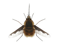 Bee-fly - Bombylius major