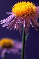 purple Aster flower (Tongolensis)