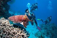 broadclub cuttlefish, Sepia latimanus, and scuba divers, Ribbon Reefs, Great Barrier Reef, Queensland, Australia, Coral Sea, South Pacific Ocean