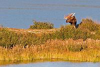 Alaskan bull moose